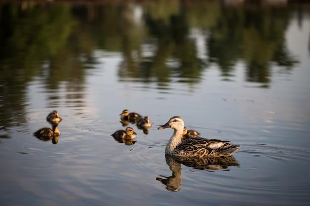 池に浮かぶ小さな子孫を持つアヒル。