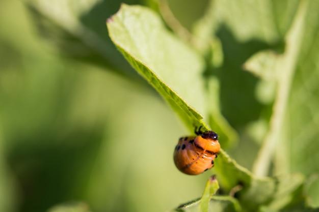 コロラド州のカブトムシ