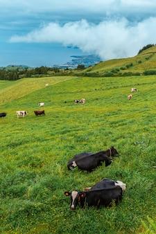 サンミゲル島の牛。アゾレス。ポルトガル。牛は緑の草の上に横たわっています。遠くに大西洋の海岸が見えます。