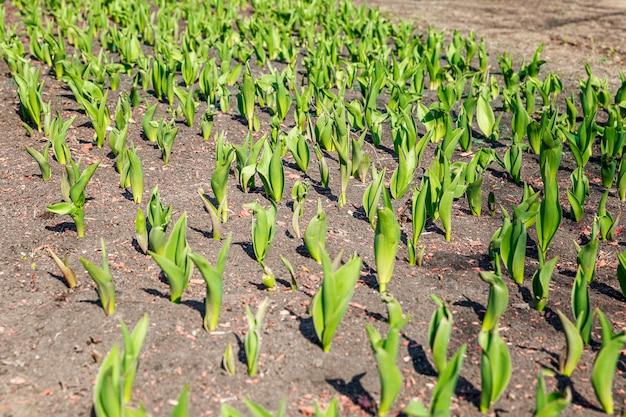 Молодые ростки тюльпанов в земле в солнечный весенний день.