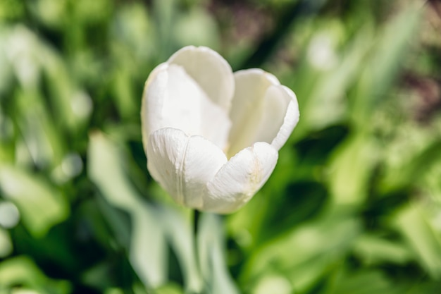庭に咲く白いチューリップ。閉じる。