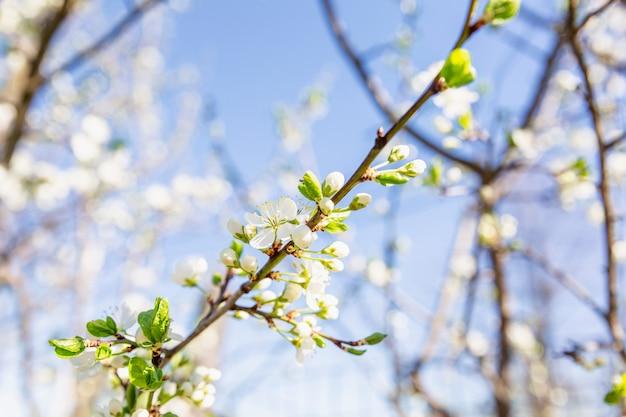 青い空を背景に晴れた日に咲く白い花桜の枝。閉じる。