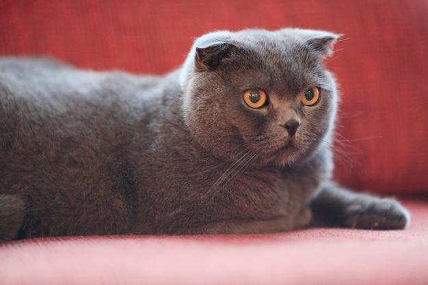 Британский кот лежит в уютном красном кресле. домашнее животное крупным планом.