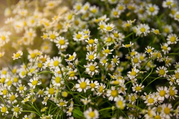 小さな繊細な白いヒナギクの大きな花束。