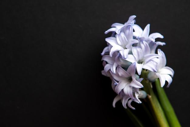 Закройте синие цветы гиацинтов, вид сверху с копией пространства для поздравительной открытки