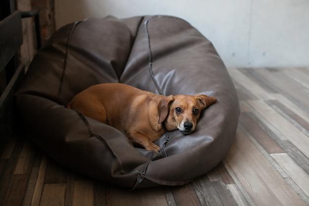 Портрет собаки таксы, лежащей на кожаном стуле