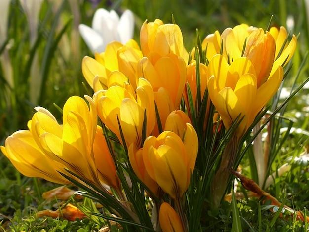 Цветок растение цветение крокусов природы