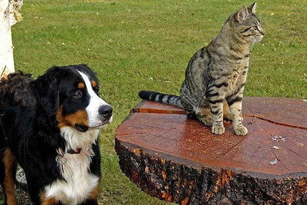 犬のバーニーズ犬猫虎猫縞模様の山