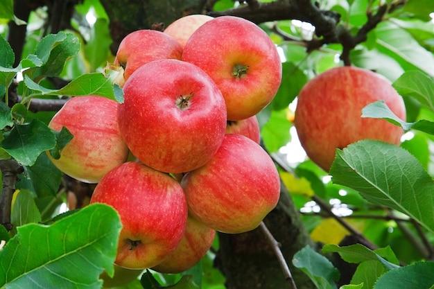 Яблоко питание осенью свежие ветви кучу урожая фруктов