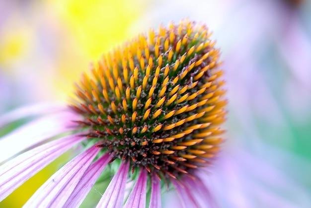 Эхинацея подробно флоры цветение эхинацеи красочные