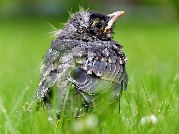 野生動物ロビン羽毛の自然動物鳥