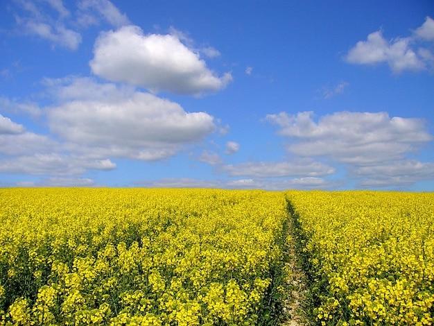 Сельскохозяйственных культур растений масличного рапса поле