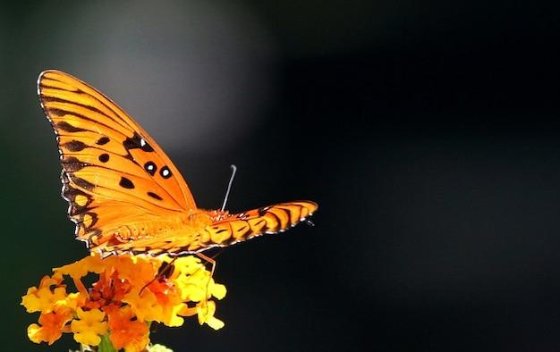 Страсть бабочка залива оранжевый рябчик