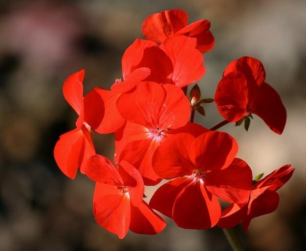 Цветок герани пеларгонии ежегодные