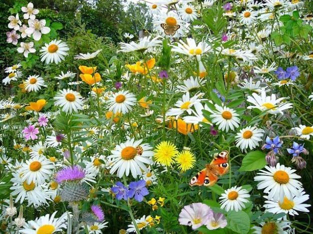 デイジーの花オンスアイ野生植物自然