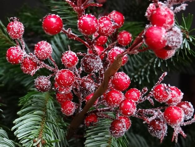 伝統的にクリスマスモミ果実