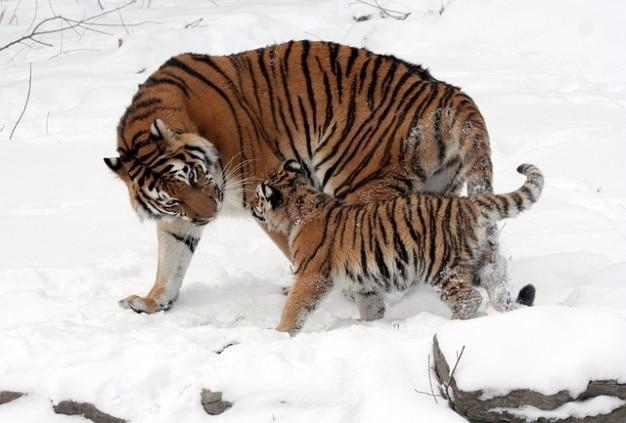 Амурского тигра ребенка