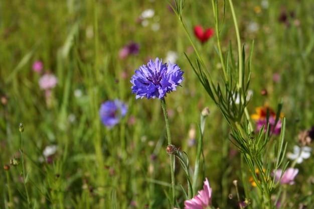 春の野の花ヤグルマギクの草原の花