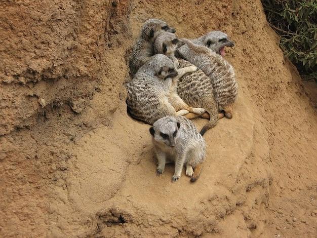 ミーアキャットの自然動物をスリカータ
