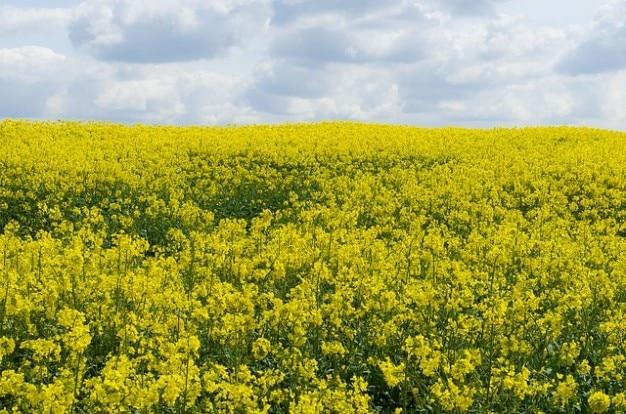 フィールドには、背景の季節の花をキャノーラ