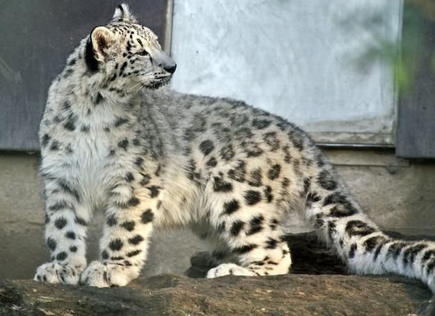 動物の捕食ヒョウ雪猫若い