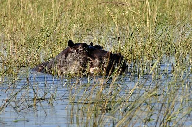Бегемот чобе ботсвана воды реки бегемот