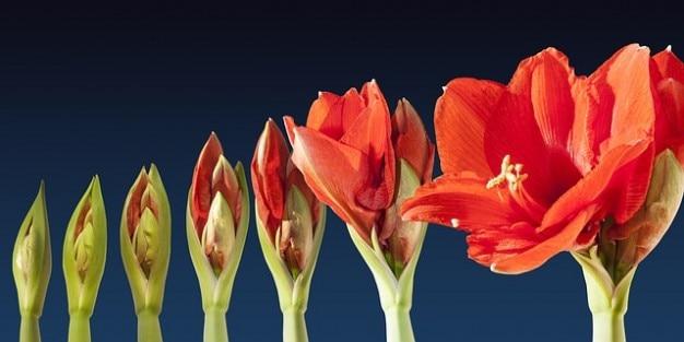 経過アマリリスの時系列の花花を育てる