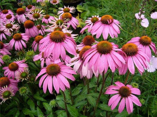 Цветок цветы эхинацеи пурпурной флора цветение