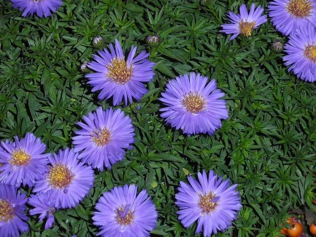 秋アスター紫植物アスター花植物