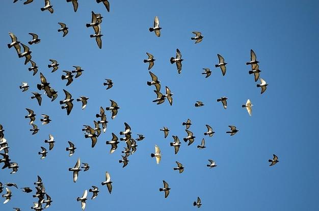 ハト動物空ハトの群れ鳥