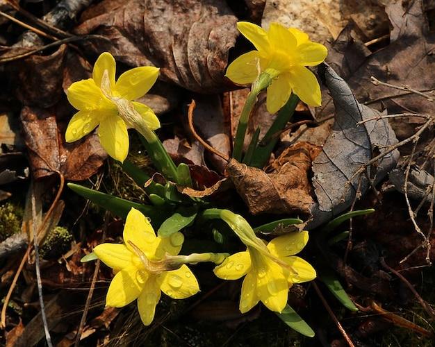 花は小さな水仙春ミニチュア