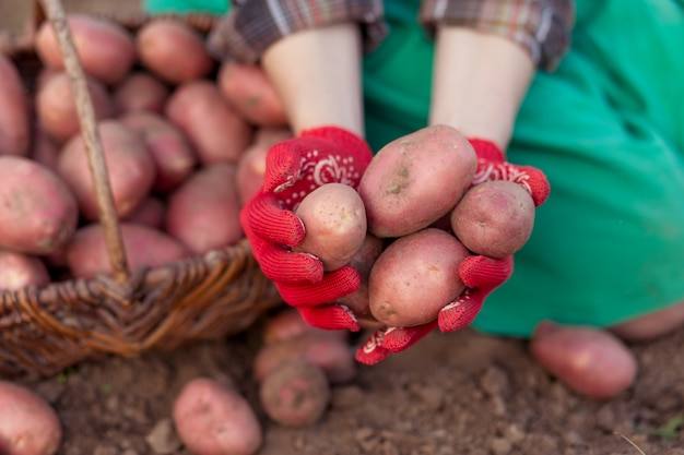Свежий картофель в руках женщины. сбор картофеля из почвы в корзину.