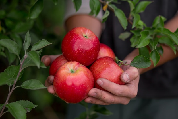 果樹園で果物を収穫する