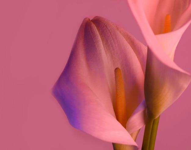 美しい花オランダカイウユリ