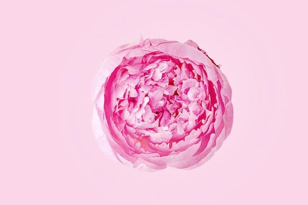 Розовый нежный мягкий пион цветок.