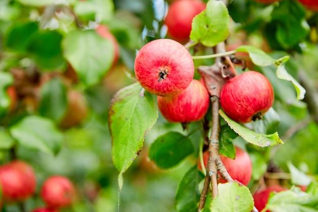 Яблоки на ветке на дереве. яблочный сад