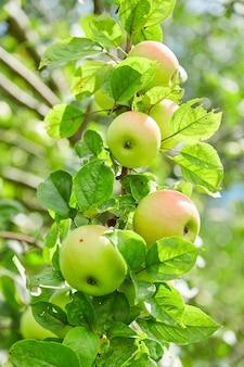 新鮮で自然、オーガニック、ジューシーなリンゴ。木の枝にリンゴ。リンゴ園。環境に優しい製品