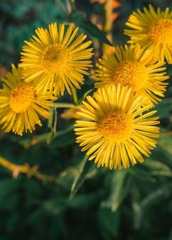 庭の黄色の花のクローズアップ