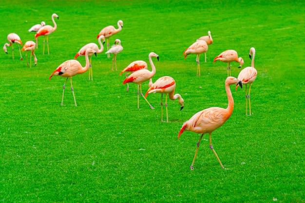 Крупный план красивой группы фламинго гуляя на траву в парке