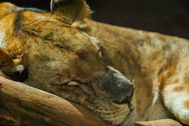 眠っている雌ライオンのクローズアップ