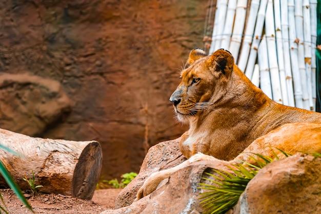 竹の棒で地面に横たわっている雌ライオンのクローズアップ