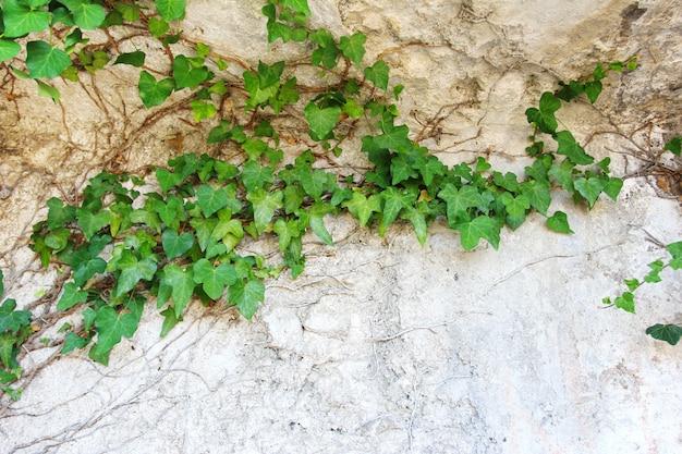 Природа фон с листьями плюща