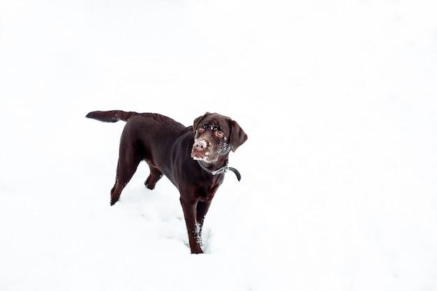 Довольно коричневый лабрадор ретривер зимой
