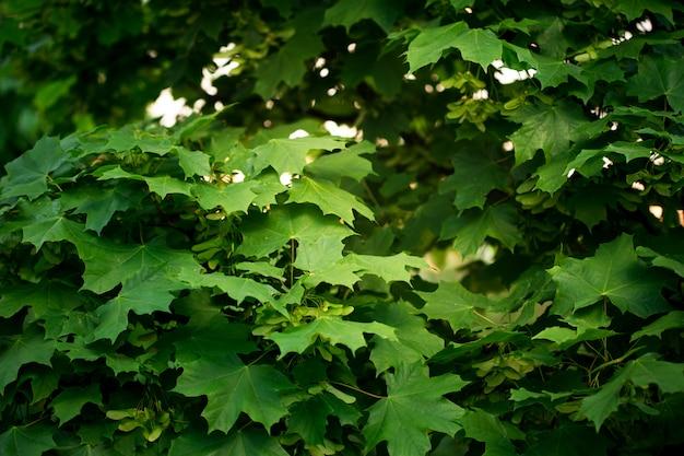 メープルグリーンの葉をクローズアップ