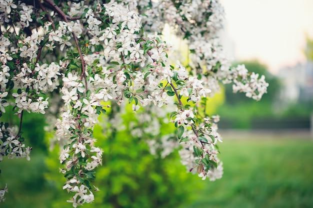 Весна, молодые вишни цветут. весенние цветы.
