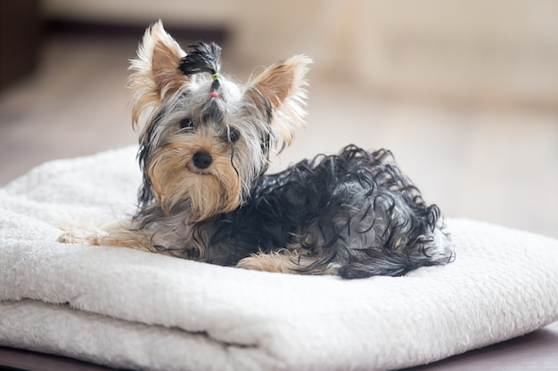タオルの上に横たわる犬