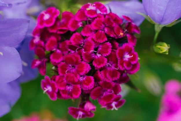 トルコのピンクのカーネーションは庭でクローズアップ