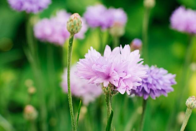 美しい紫色の花青ヤグルマギクをクローズアップ