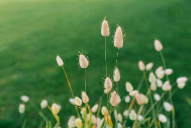 Декоративная трава заячьего хвоста или лагуруса летом на клумбе