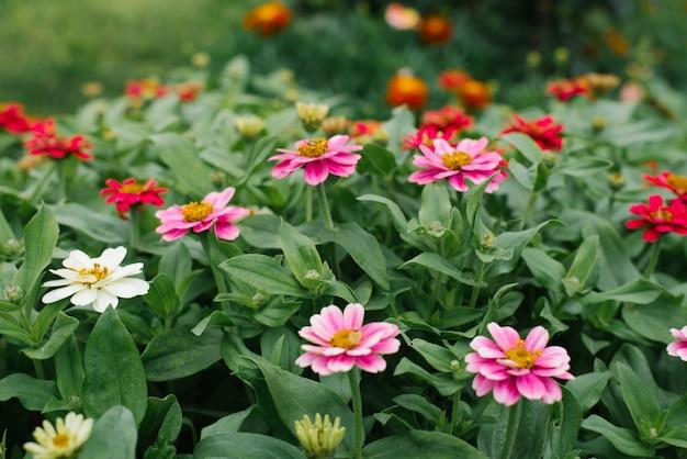 夏の庭で白、深紅色、ピンクの百日草の美しい背景を花します。